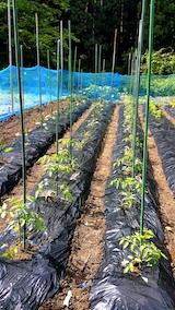 20170605野菜の畑