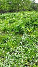 20170605フキ畑の草刈り1