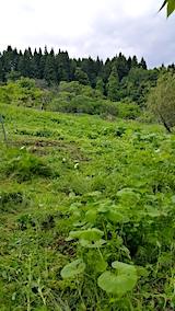 20170605フキ畑の草刈り3
