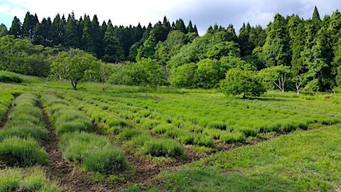 20170605ラベンダー畑の様子1