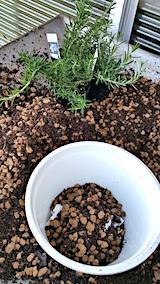 20170605ハーブ苗の植え替え1