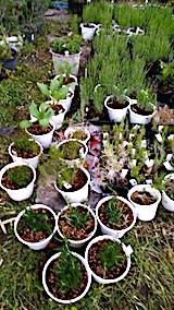 20170605ハーブ苗の植え替え2