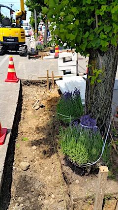 20170609L型側溝整備と開花を待つ歩道のラベンダー1