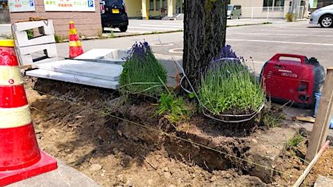 20170609L型側溝整備と開花を待つ歩道のラベンダー3