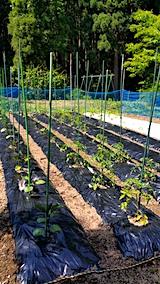 20170609野菜畑の様子