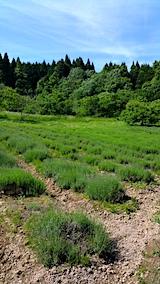 20170609ラベンダーの畑