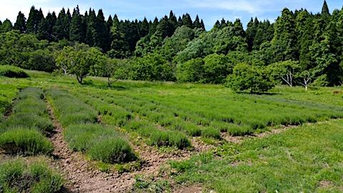 20170609ラベンダー畑の様子