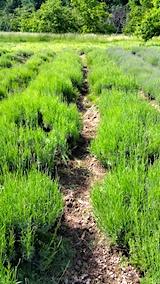 20170609ラベンダー畑の草取り前の様子1