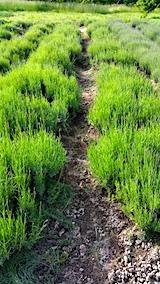 20170609ラベンダー畑の草取り後の様子1
