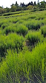 20170609ラベンダー畑の草取り途中の様子2
