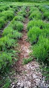 20170609ラベンダー畑の草取り後の様子3