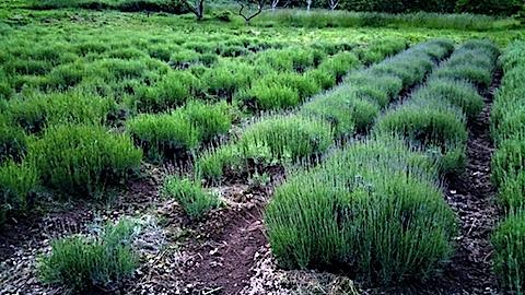 20170609晩ラベンダー畑の草取り後の様子4