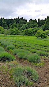 20170610ラベンダーの畑