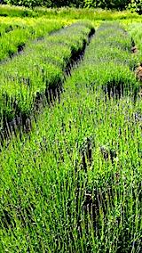 20170611ラベンダー畑の草取り途中の様子1
