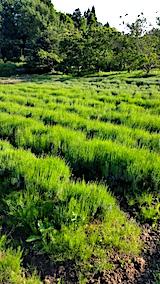 20170611ラベンダー畑の草取り途中の様子2