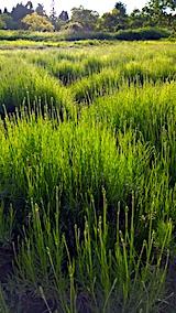 20170611ラベンダー畑の草取り途中の様子3