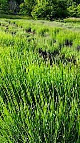 20170611ラベンダー畑の草取り途中の様子4