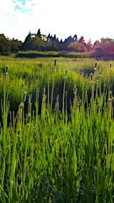 20170611ラベンダー畑の草取り途中の様子5