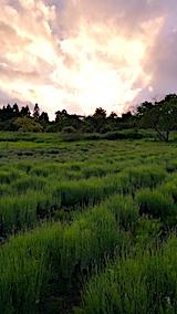 20170611外の様子夕方ラベンダーの畑