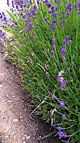 20170612歩道の早咲きラベンダーこいむらさき側面
