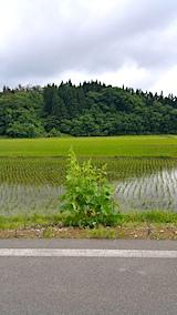 20170612山へ向かう途中の様子田んぼとタチアオイ