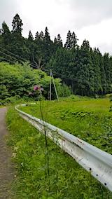 20170612山へ向かう途中の様子峠道の下り坂に咲くアザミ