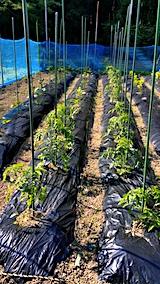 20170614野菜の畑