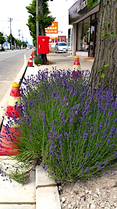 20170615歩道の早咲きラベンダーこいむらさきの紐がついにとかれる2