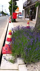 20170615歩道の早咲きラベンダーこいむらさきの紐がついにとかれる1