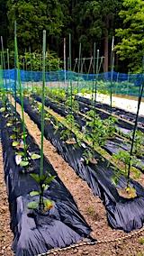 20170615野菜畑
