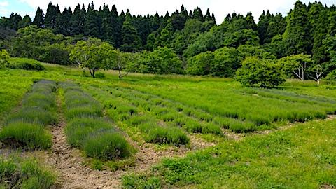 20170615ラベンダー畑の様子1