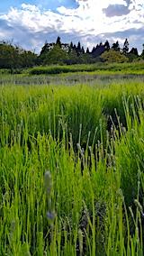 20170615草取り途中のラベンダーおかむらさき