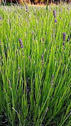 20170615ほのかに色づき始めた畑のラベンダーおかむらさき2