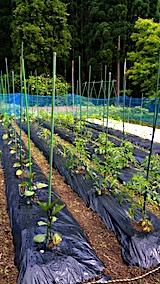20170617野菜畑