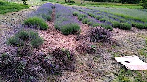 20170623草取りと枝整理後のラベンダー畑の様子3
