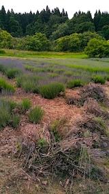 20170623草取りと枝整理後のラベンダー畑の様子2