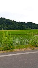 20170625山へ向かう途中の様子田んぼとタチアオイ