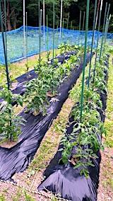 20170625野菜の畑