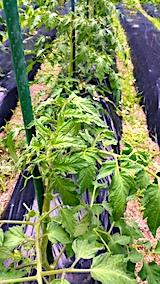 20170625野菜の畑トマト