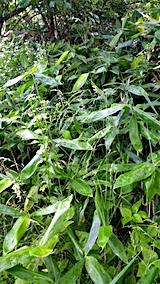 20170625小雨の中笹の葉の収穫2