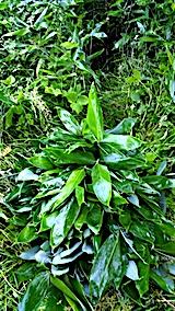 20170625小雨の中笹の葉の収穫3