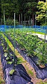 20170628野菜の畑