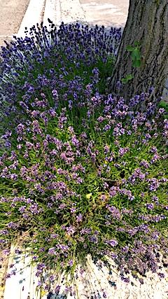 20170707歩道の早咲きラベンダーこいむらさきの刈り込み1