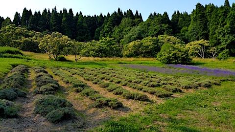 20170707ラベンダー畑の様子収穫前