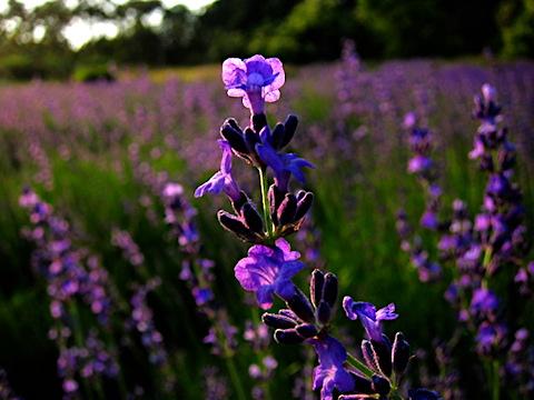 20170707ラベンダーおかむらさきの花