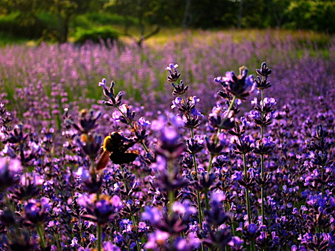 20170707ラベンダーナナ成沢の花とミツバチ