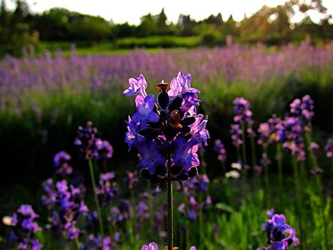 20170707ラベンダーこいむらさきの花