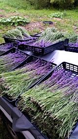 20170707ラベンダーおかむらさきの収穫