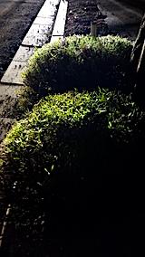 20170707歩道の早咲きラベンダーこいむらさきの刈り込み後