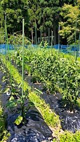 20170708野菜の畑